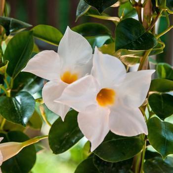 Комнатный цветок дипладения: размножение, выращивание, уход, фото
