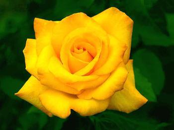 К чему снятся желтые цветы, всегда ли они сулят разлуку?