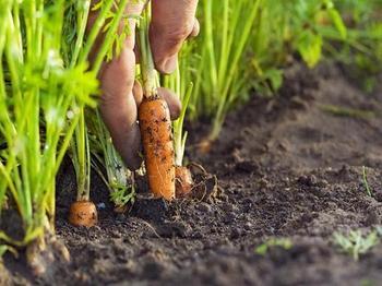 Уход при выращивании моркови