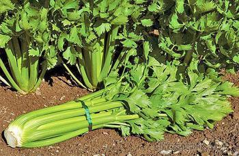 Выращивание и уход за черешковым сельдереем – философия здорового образа жизни