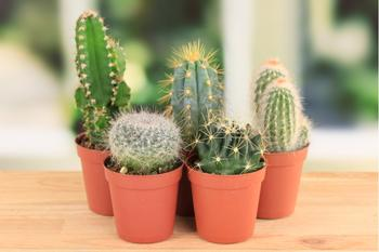 Разрушение мифов о кактусах: почему все-таки стоит иметь дома колючего друга