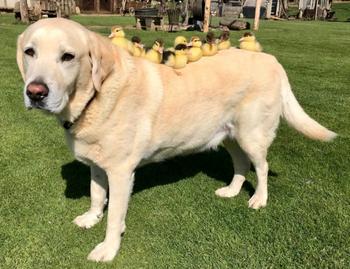 Чужих детей не бывает: пес стал приемным отцом для осиротевших утят
