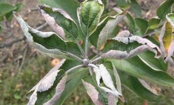 На яблоне скручиваются листья: что делать и как помочь растению