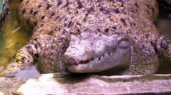 Домашний крокодил: в индонезийской семье 20 лет живет 200-килограммовая рептилия