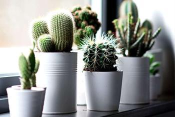 Кактусы: как выращивать в домашних условиях, сорта