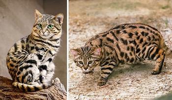 16 великолепных диких котов, о которых вы почти наверняка не слышали