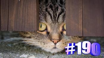Смешные коты | Приколы с котами | Видео про котов | Котомания # 190 (видео)