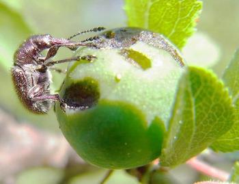 Вредители черешни и борьба с ними — фото насекомых