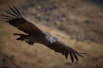 На расслабоне: как андские кондоры преодолевают огромные расстояния без взмахов крыльями?