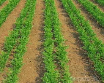 Как полоть морковь,легко и просто