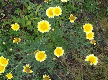 Почему хризантемы в саду не проснулись весной