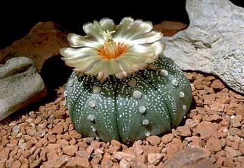 Астрофитум (звездный кактус) – выращивание, уход в домашних условиях