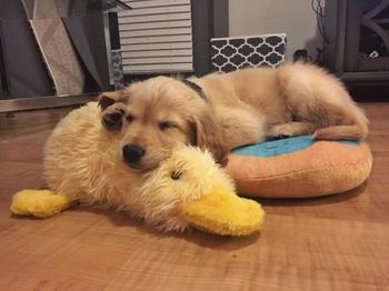 Домашние животные, которые без ума от своих игрушечных друзей
