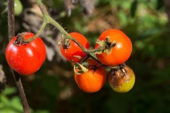 Фитофтора на помидорах в теплице: как бороться?