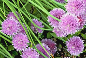 Шнитт лук: чем полезен и как вырастить?