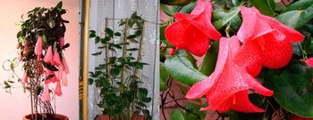 Цветок Лапагерия