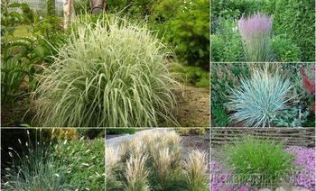 Декоративные злаки для средней полосы – эти растения точно не вымерзнут зимой