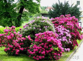 10 декоративных кустарников и деревьев, цветущих ранней весной