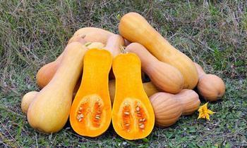 Особенности выращивания мускатной тыквы, уход и описание лучших сортов