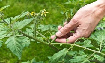 Как правильно пасынковать помидоры в теплице и открытом грунте: схема, инструкция