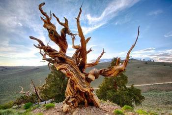 Интересные факты о деревьях-рекордсменах планеты