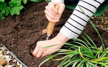 Основные правила посадки лилий осенью