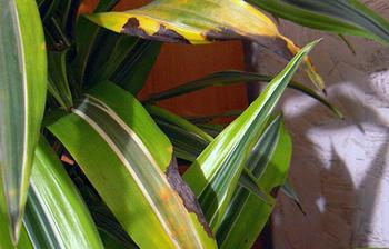 Что делать и почему желтеют листья у комнатной драцены