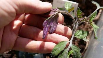 Почему у рассады томатов фиолетовые листья и стебли: причины и что делать, чем удобрить