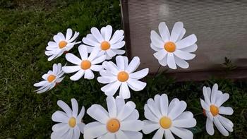 Ромашки для садового участка