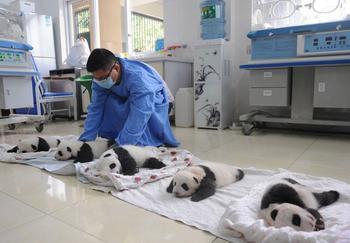 Эти малыши панды заставят вас умереть от умиления!