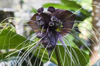 Такка - многолетнее травянистое растение