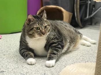 Очень толстый кот Пончик нашел новую семью после того, как хозяйка сдала его в приют