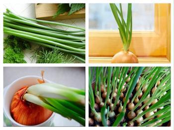 Как вырастить зеленый лук на подоконнике в грунте или воде