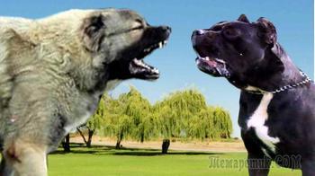 ТОП 7- самых опасных пород собак
