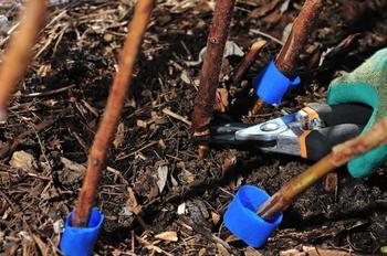 Уход за малиной после сбора урожая – готовим малинник к следующему сезону