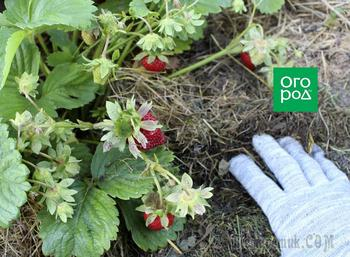 Зачем мульчировать огород горячей травой