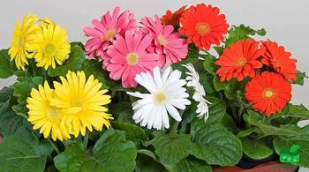 Гербера комнатная: уход в домашних условиях, фото цветка