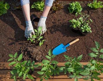 Что положить в лунку при посадке помидоров: 10 рецептов от читателей
