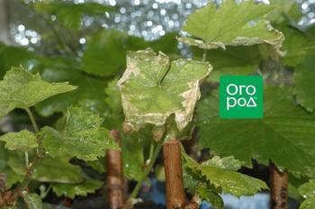 Самые частые ошибки при выращивании саженцев винограда в контейнерах