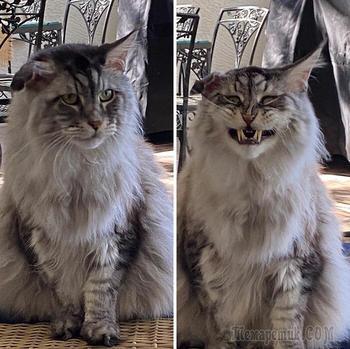 20 смешных котов, которые показали свои зубки, доказав, что они самые милые вампуррры