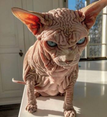 Познакомьтесь с Джерданом, неофициально самым страшно выглядящим котом в мире