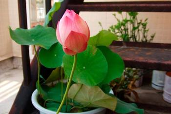 Правила посадки и выращивания лотоса из семян в домашних условиях
