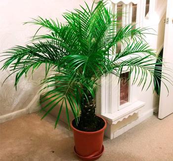Финиковая пальма: уход в домашних условиях