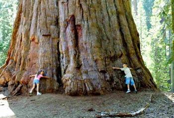 10 самых крупных деревьев в мире
