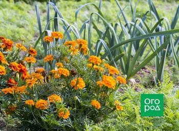 Что делать с бархатцами после цветения