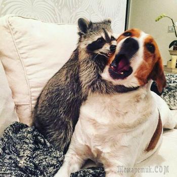Енот, который считает себя собакой…