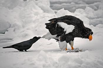 Вороны троллят других животных, дергая их за хвосты