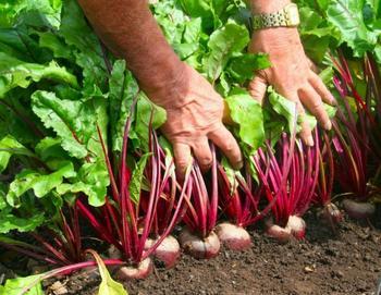 Как получить хороший урожай свёклы?