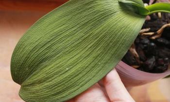 5 основных причин потери тургора листьев у орхидей