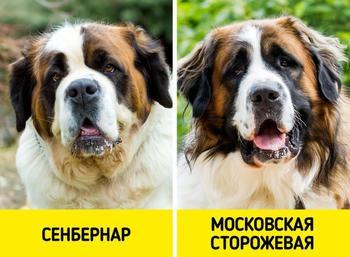 Породы собак, которые путают даже преданные собачники
